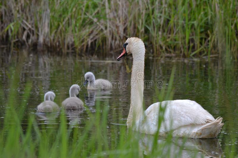 Mute Swan- Cygnus olor, on a pond with three sons. royalty free stock image