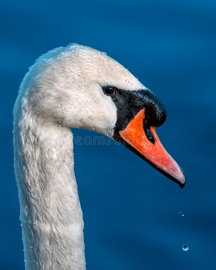 Mute Swan - Cygnus olor Portrait. royalty free stock photos