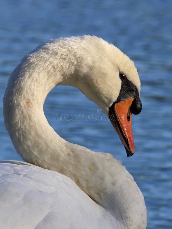 Mute Swan. A mute swan Cygnus olor in profile