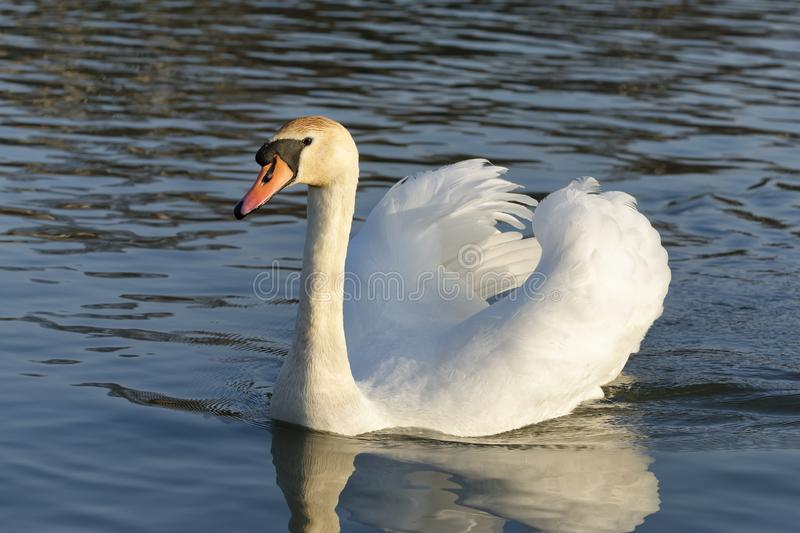 Mute Swan. Cygnus olor .With reflection on water royalty free stock photos
