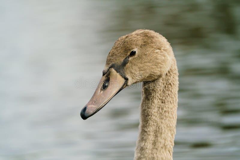 Mute swan (Cygnus olor) retrato de Cygnet, tomado en el Reino Unido imágenes de archivo libres de regalías