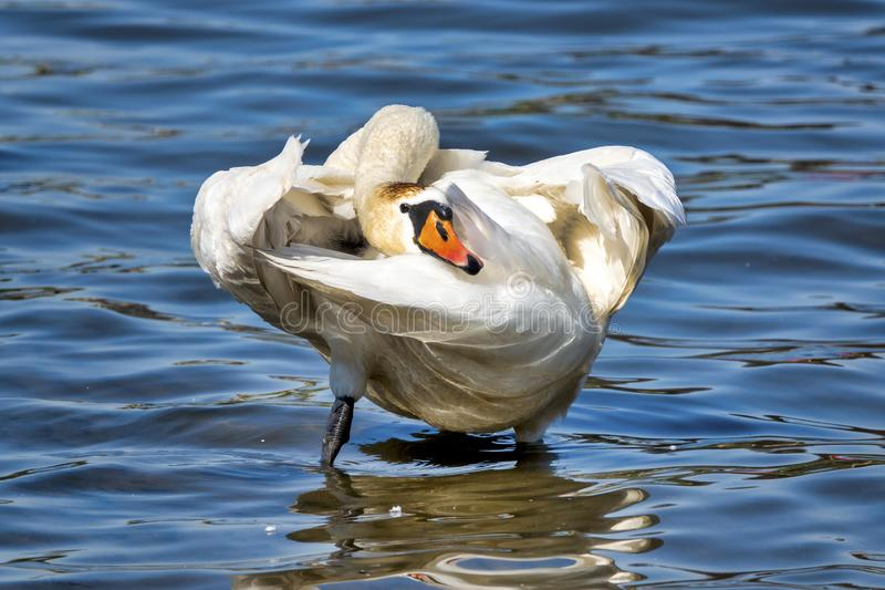 Mute swan. Cygnus olor in a river stock photography