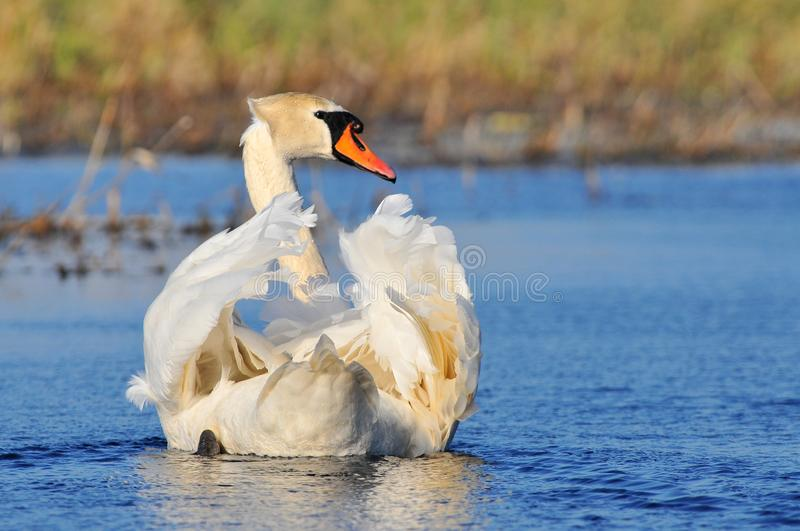 The mute swan Cygnus olor is a species of swan and a member of the waterfowl family Anatidae, Biebrzanski National Park, Poland. royalty free stock photos