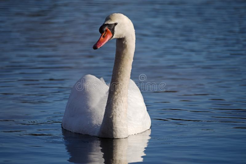 Mute Swan Cygnus Olor royalty free stock photography
