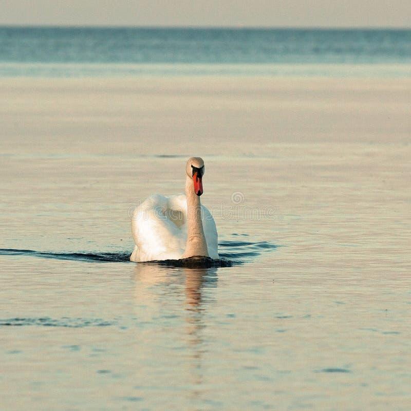 The mute swan Cygnus olor stock photography