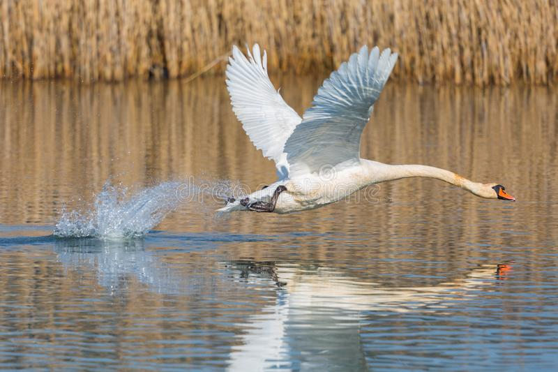 Mute swan cygnus olor taking off from water surface, spread wings. Natural mute swan cygnus olor taking off from water surface, spread wings stock photo