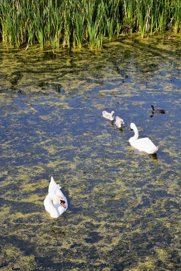 Download Mute swan eating stock photo. Image of lake, swan, eating - 12294270