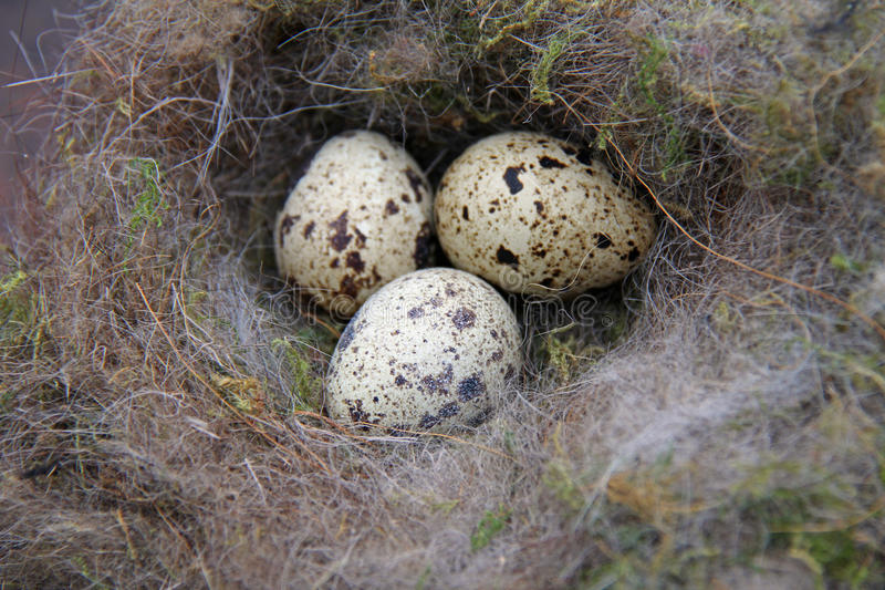 Mute swan eggs royalty free stock images