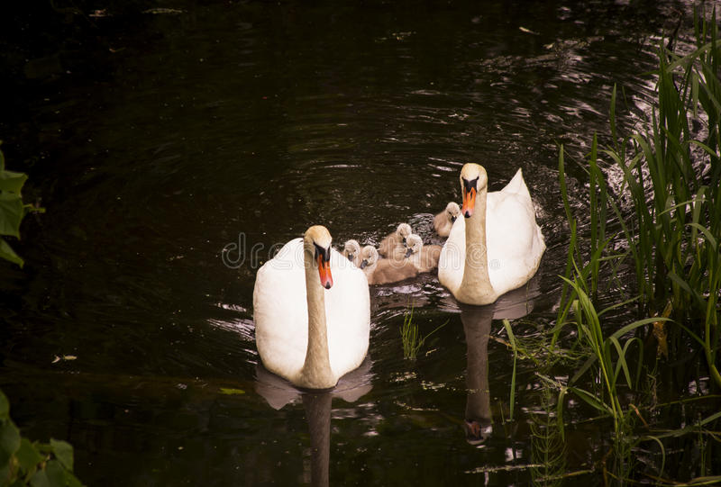 Mute Swan family royalty free stock photo