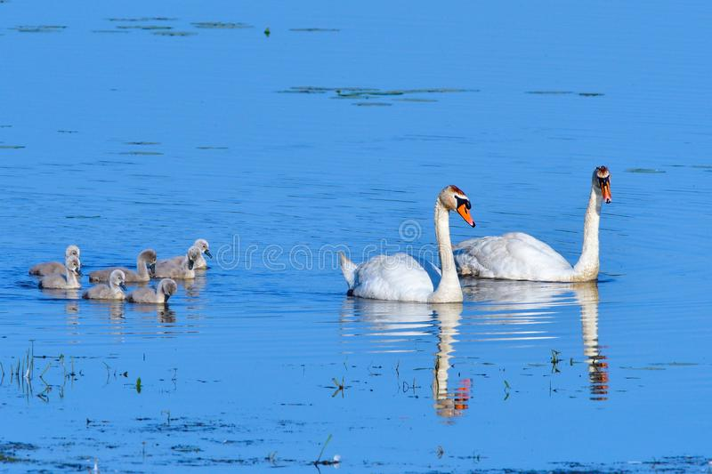 Mute swan family swim on a pond royalty free stock images