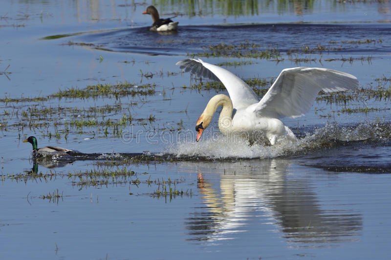 Mute swan in fight. Against goose royalty free stock image