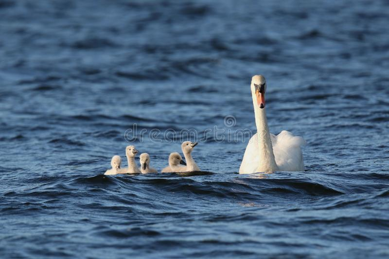 Mute Swan with Five Cygnets Swimming on a Blue Lake stock photography