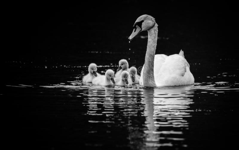 Mute Swan with five young swans on sunny Spring day in calm water, black and white. Mute Swan, Cygnus olor, with five young swans, Cygnets, on sunny Spring day stock images