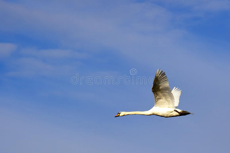 Download Mute Swan In Fkight Royalty Free Stock Images - Image: 14178199
