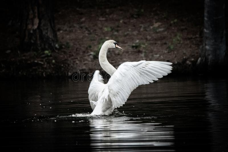 Mute swan flapping wings in water royalty free stock photo