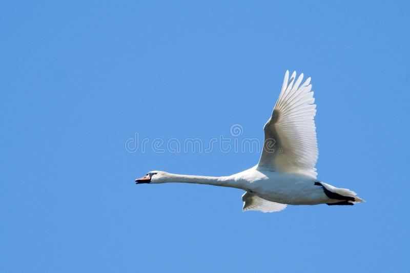 Download Mute Swan in flight stock photo. Image of swan, flight - 14387202