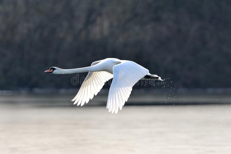 Mute swan in flight. A mute swan in flight just after taking off from a lake stock photography