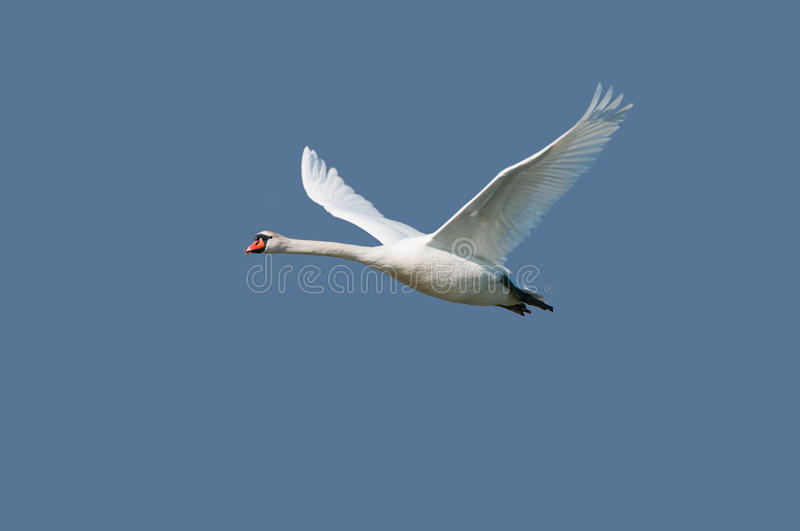 Mute swan on flight. A mute swan flying against the blue sky royalty free stock photography