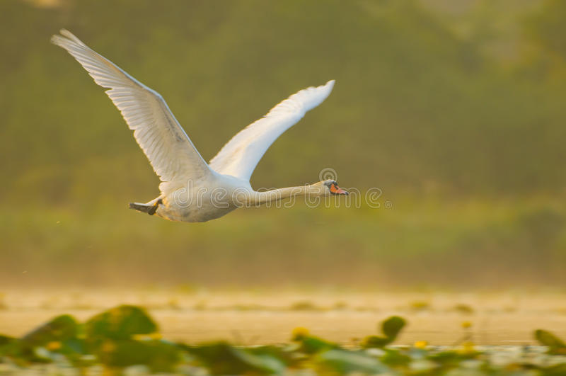 Mute swan in flight royalty free stock photography