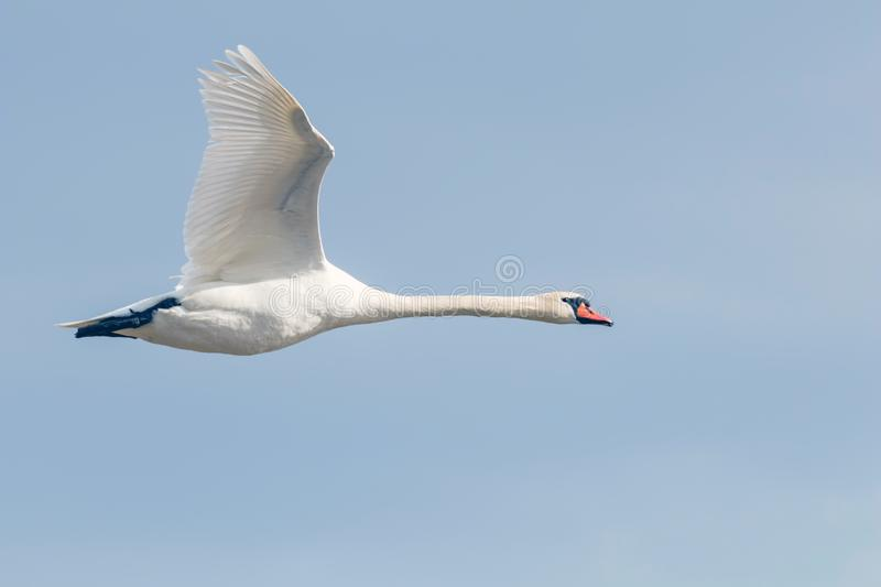 Mute Swan in flight blue sky Cygnus olor royalty free stock images