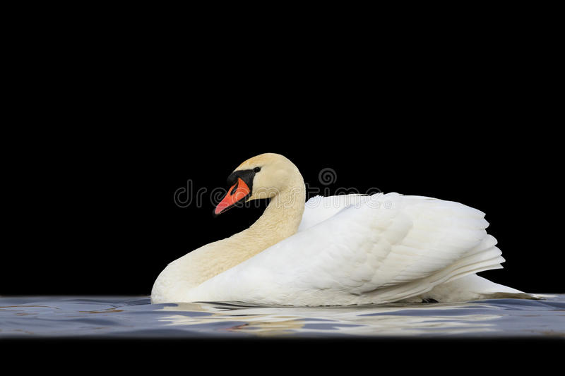 Mute swan floating on blue water isolated black stock photo