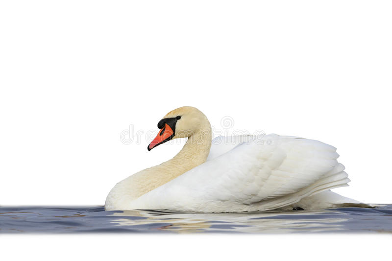 Mute swan floating on blue water isolated white stock images
