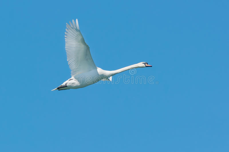 Mute Swan. Flying across a clear blue sky royalty free stock photography