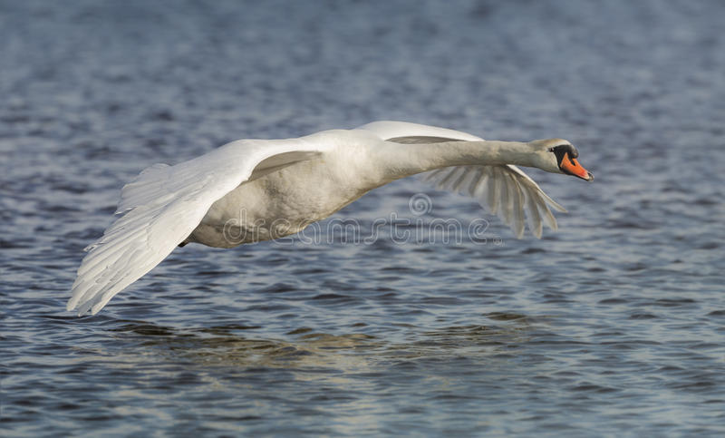 Mute Swan. A Mute Swan flying along a river stock images