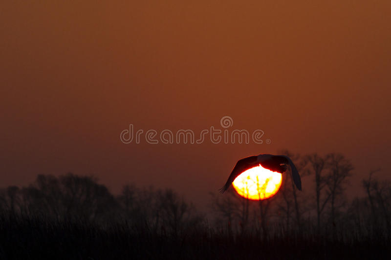 Mute swan flying on a background of solar circles stock images