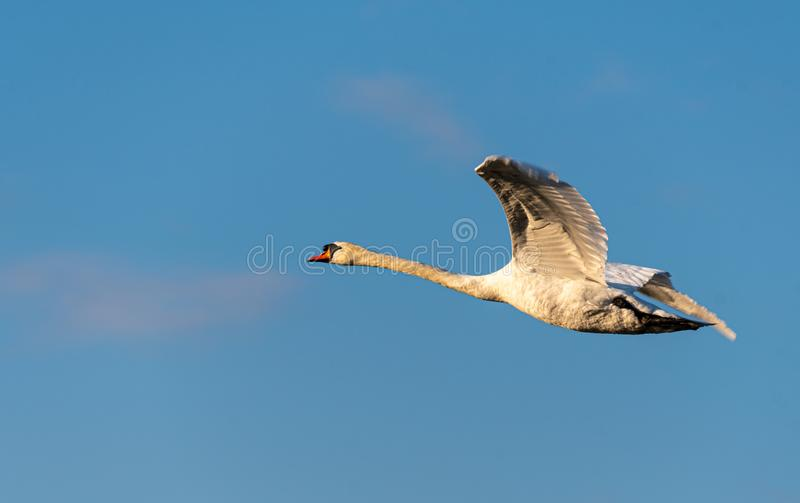 Mute Swan flying stock photography