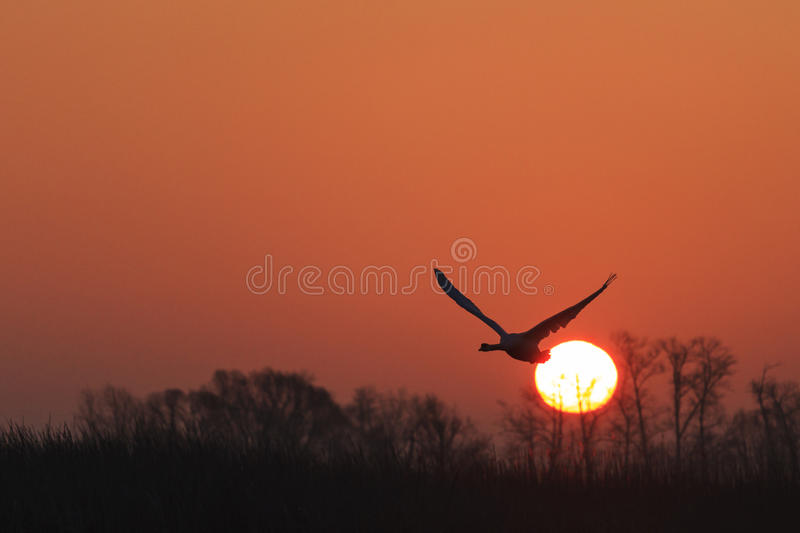 Mute swan flying at sunrise over spring lake royalty free stock photography