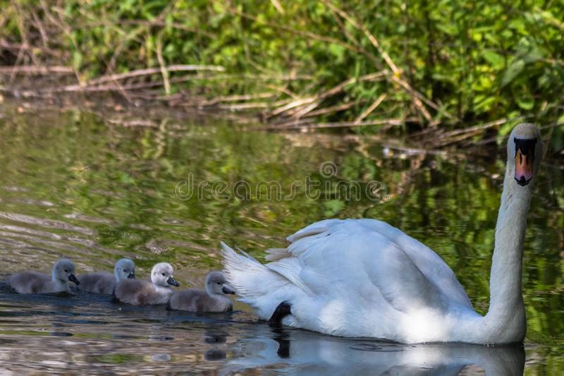 Mute swan going for a first swim with cygnets. Mute swan going for a first swim with his offspring. Swans mate for life and the female and male take part in royalty free stock photo