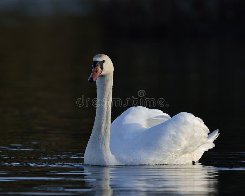 Mute Swan, Grécia fotos de stock