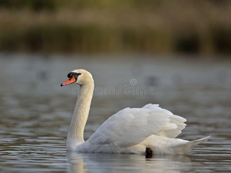 Mute Swan, Grécia foto de stock royalty free