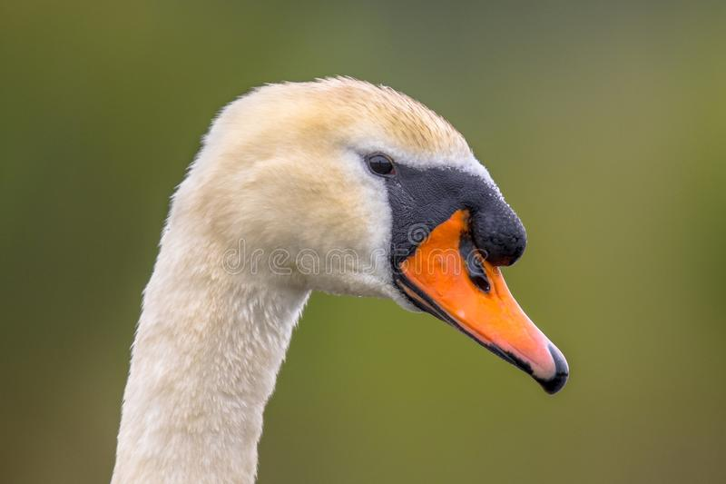 Mute swan head close up stock image