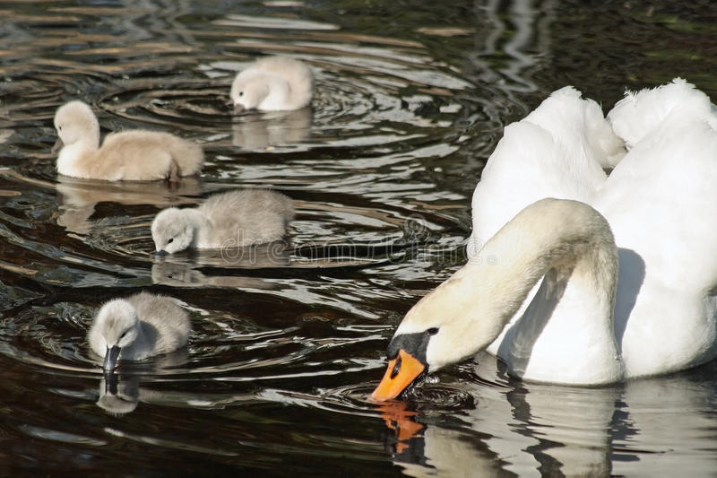 Mute Swan with her young cygnets swimming and dipping their beaks in the water royalty free stock photos