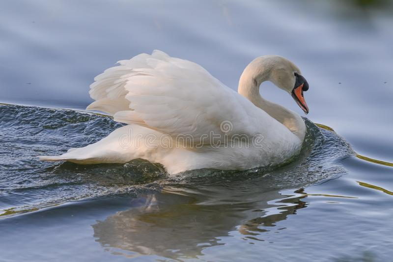Mute swan in Howarth Park / Trione-Annadel State Park in Santa Rosa, California royalty free stock images