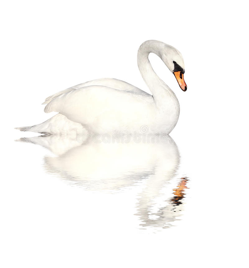 Mute swan. Isolated over white stock photo