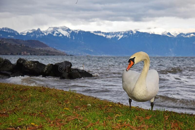 The Mute Swan and lake Geneva. The mute swan at lake Geneva or lac Leman with background of stormy lake and Swiss alps in a cloudy day , Lausanne , Switzerland stock image
