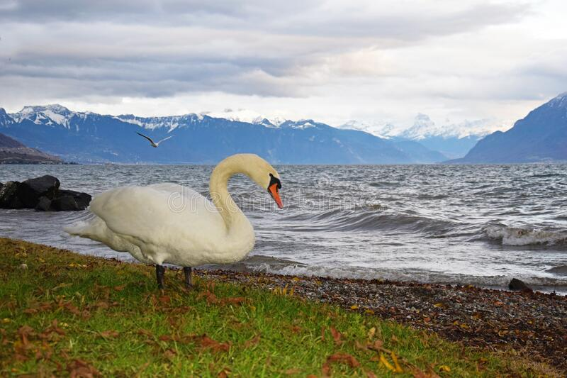 The Mute Swan and lake Geneva. The mute swan at lake Geneva lac Leman with background of stormy lake and Swiss alps in a cloudy day , Lausanne , Switzerland royalty free stock image