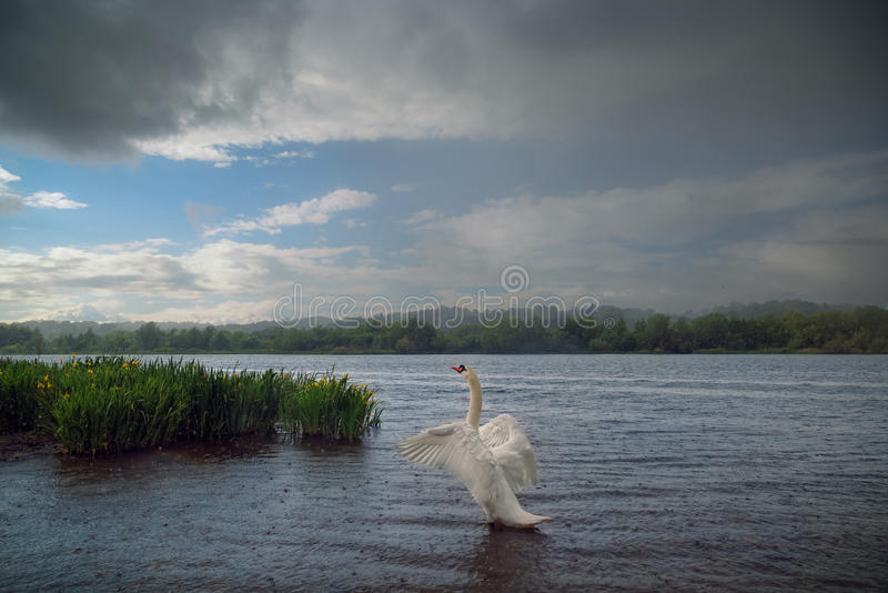 Mute Swan on Lake in the Rain. A mute swan spreads his wings and looks out on a lake as the rain pours down. A bank of wild yellow irises can be seen to the left stock photo