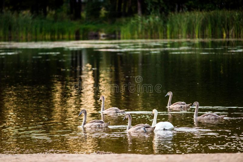 Mute swans in lake. Mute swan in a lake during sunset, swan and it`s young birds royalty free stock photo