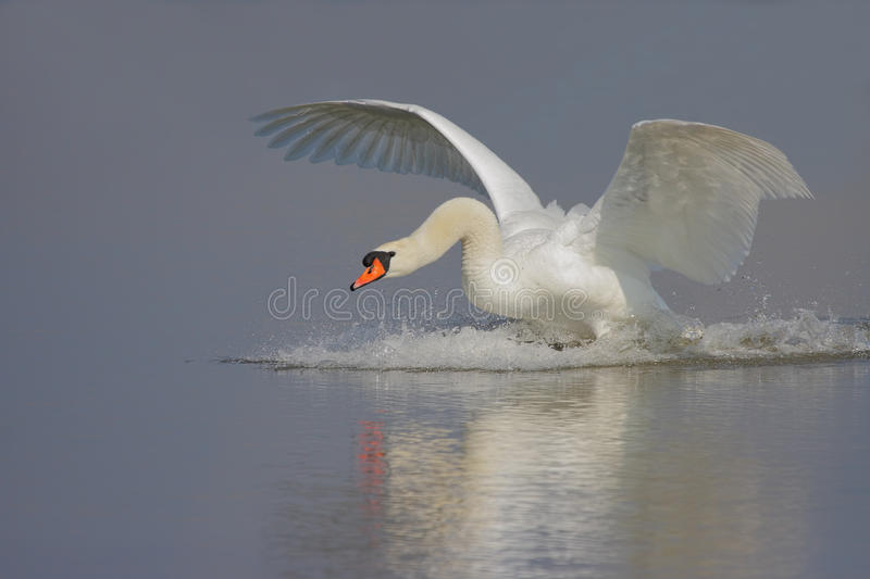 Mute Swan. Landing in the crystal blue water royalty free stock images