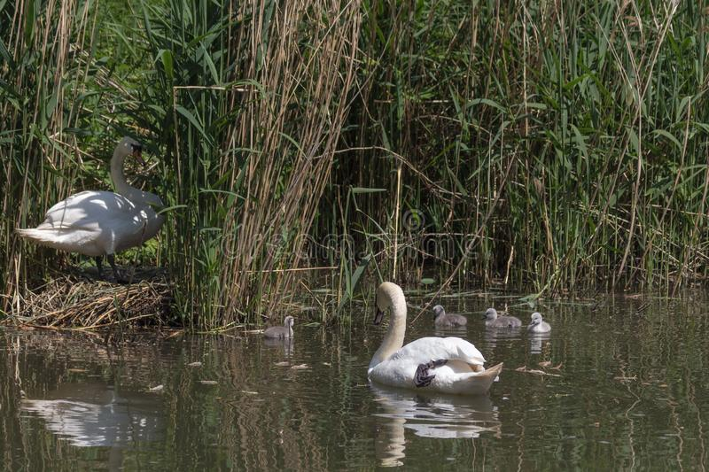 Mute swan looking after the cygnets from the nest. Mute swan looking after his offspring. Swans mate for life and the male takes part in parenting the young royalty free stock image