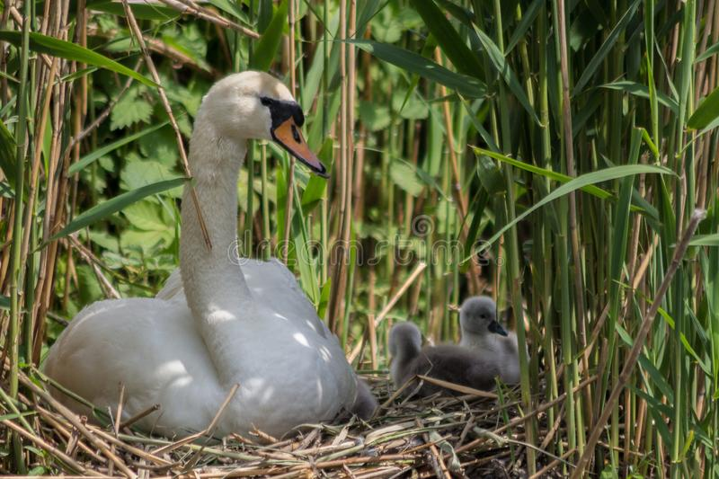 Young parent taking care of the cygnets in the nest. Mute swan looking after his offspring. Swans mate for life and the male takes part in parenting the young stock photography