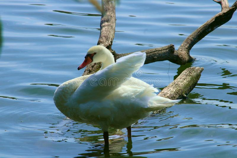Mute swan and blue water royalty free stock images