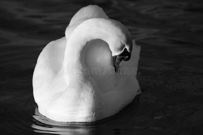 Mute Swan Monochrome. A view of a Mute Swan preening itself royalty free stock photography