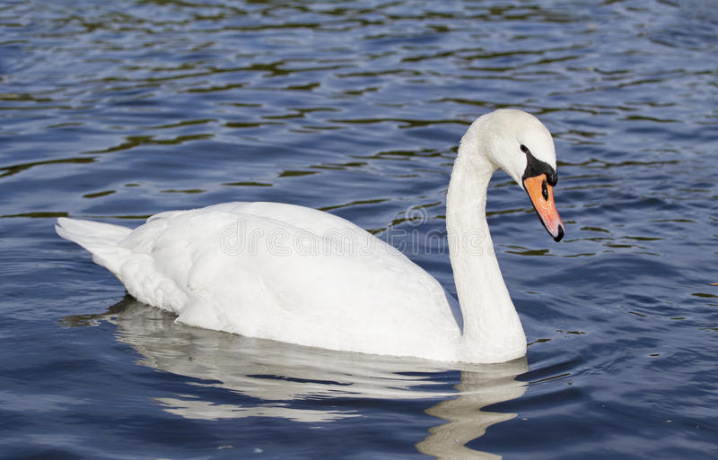 Mute swan. Moving gracefully on a lake royalty free stock images