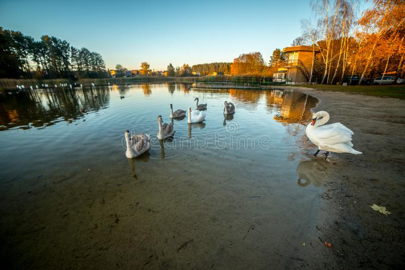 Mute swan near lake. With its young swans royalty free stock photography