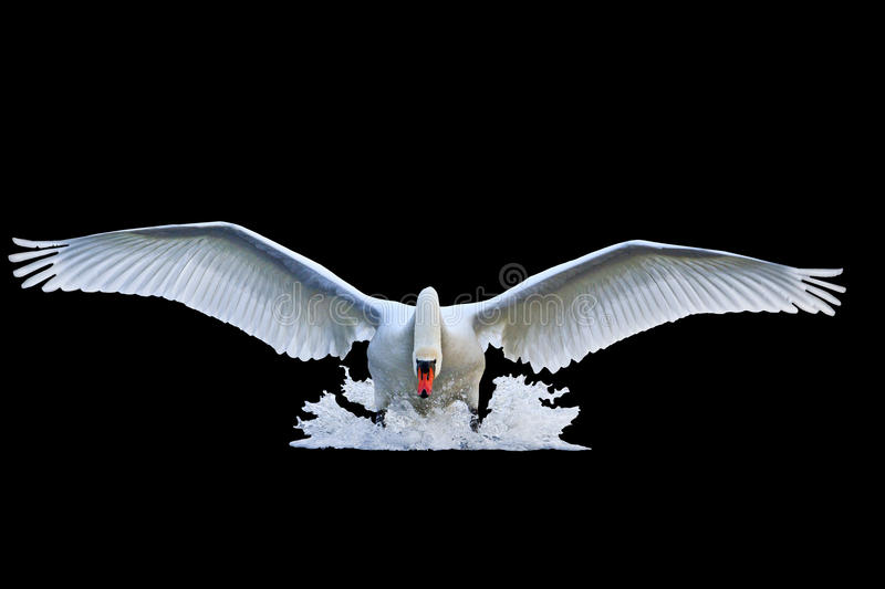 Mute swan with open wings runs on water isolated black royalty free stock images